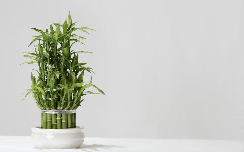 'Lucky' Bamboo