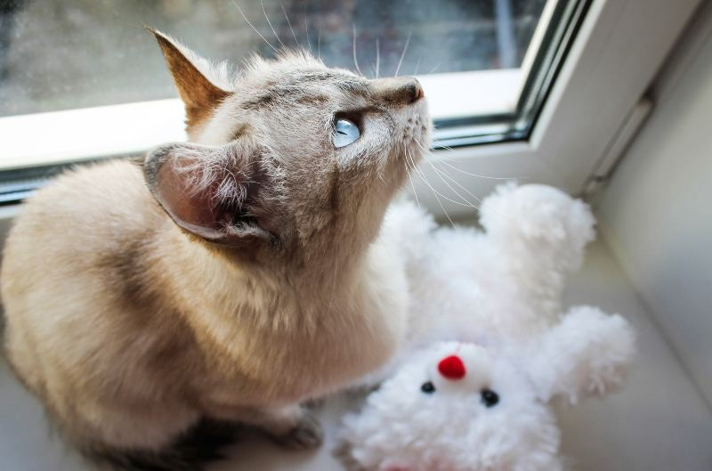 Cat with teddy bear
