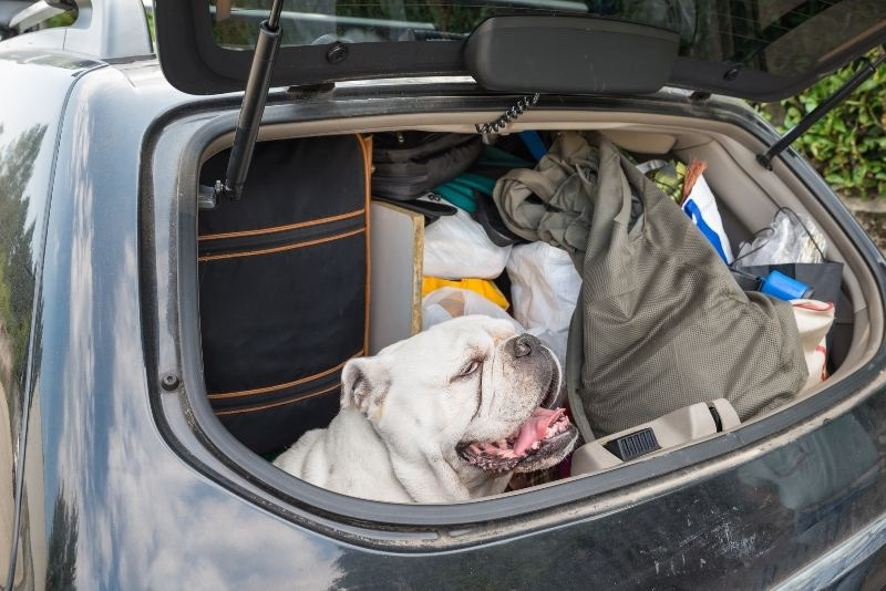 Dog sitting in a boot of a packed car