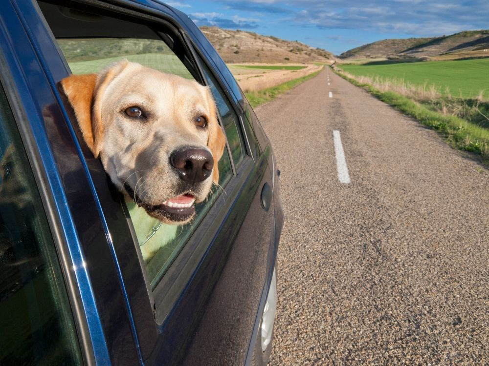 Dog sticking its head out a window of a car